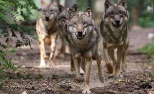 Wolfsrudel - maxresdefault