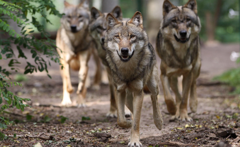 http://live.world-citizenship.org/wp-content/uploads/2017/01/Wolfsrudel-maxresdefault.jpg